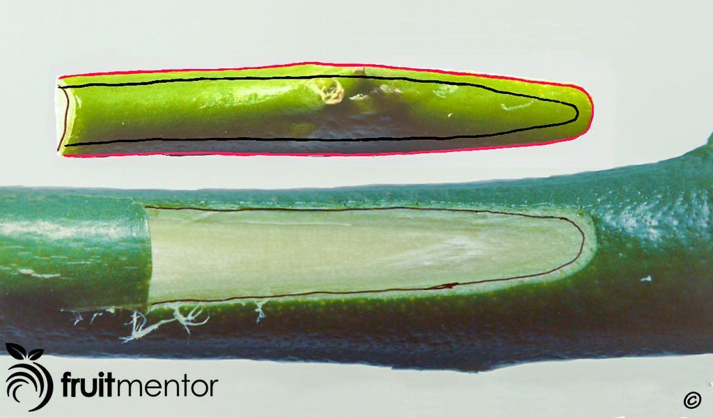 نمای مقابل تراشه جوانه مرکبات؛ لایه کامبیوم پشت قلمه نیز نمایان است.