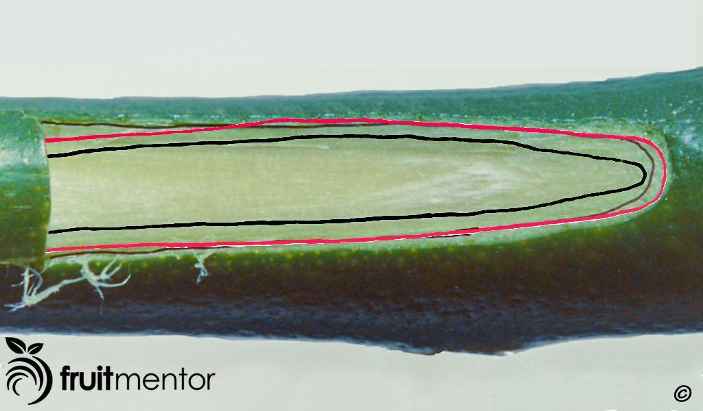 هنگامی که با قسمت بیرونی هم راستا قرار داده می شود، لایه کامبیوم جوانه با لایه کامبیوم ساقه تماس پیدا نمی کند.