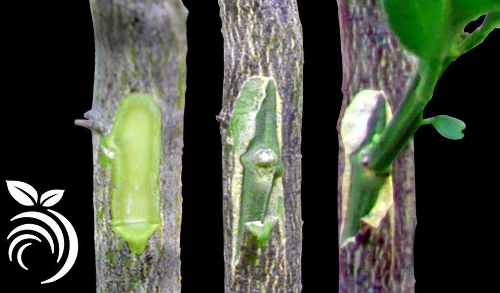 این آموزش گام به گام نحوه پیوند زدن درخت مرکبات با استفاده از تراشه قلمهرا نشان میدهد.