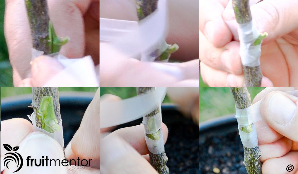 Wrapping the citrus chip bud graft with parafilm.