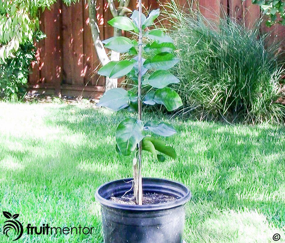 درخت کامل شده روجو بلانکو