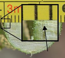 citrus cambium layer is shown by arrow