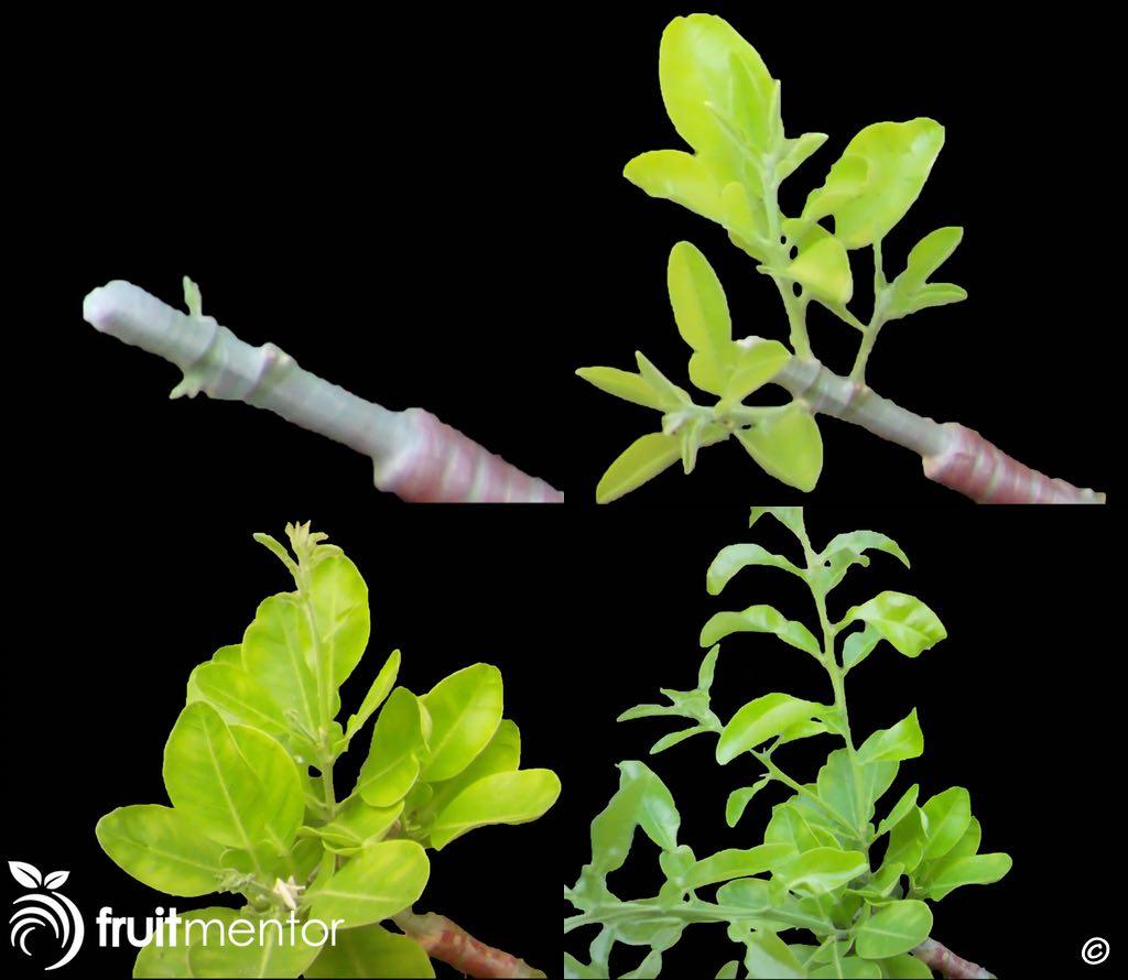 Chồi ghép phát triển sau bốn tháng trên cây bưởi đa giống.