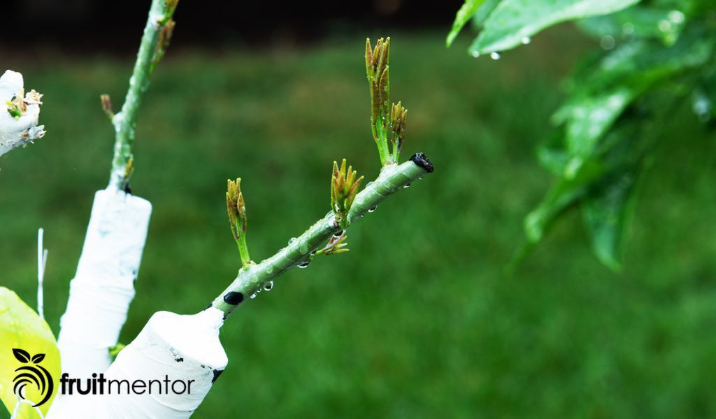 grafting citrus trees best time