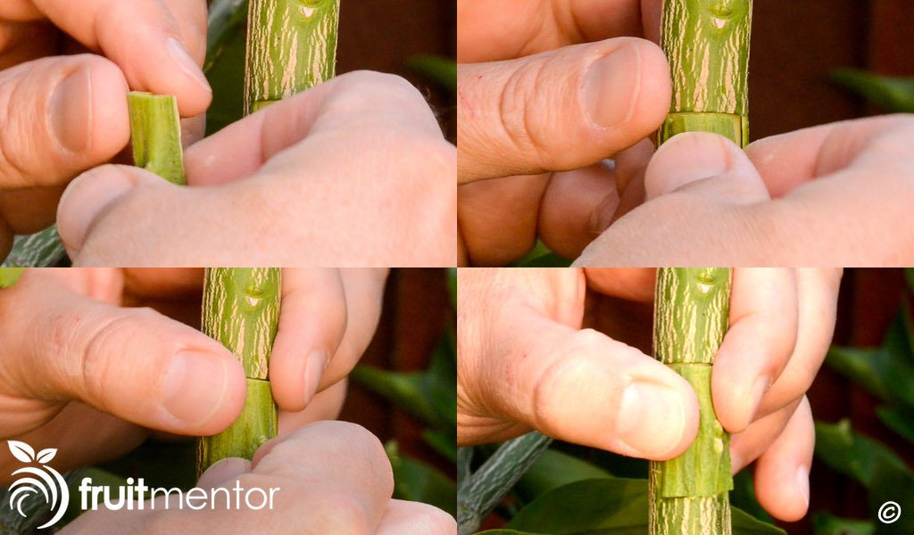 Placing the citrus patch bud on the target branch.