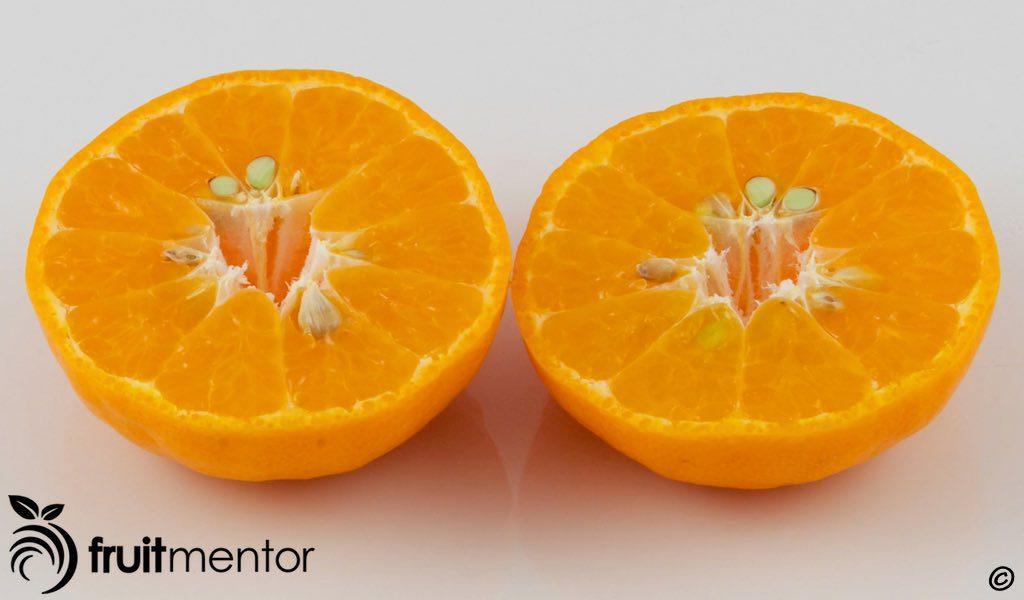 아바나 탈비노 만다린 오렌지 과일.