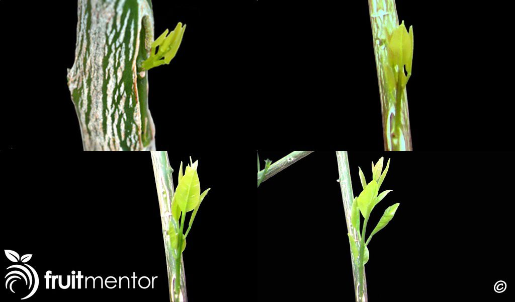Grafted bud growing.