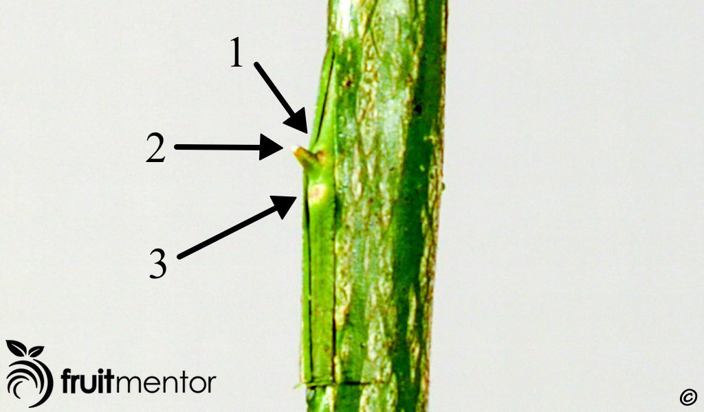 orientation of the bud