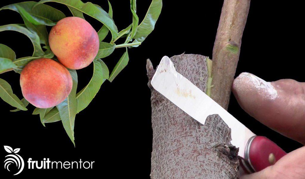 side grafting fruit trees