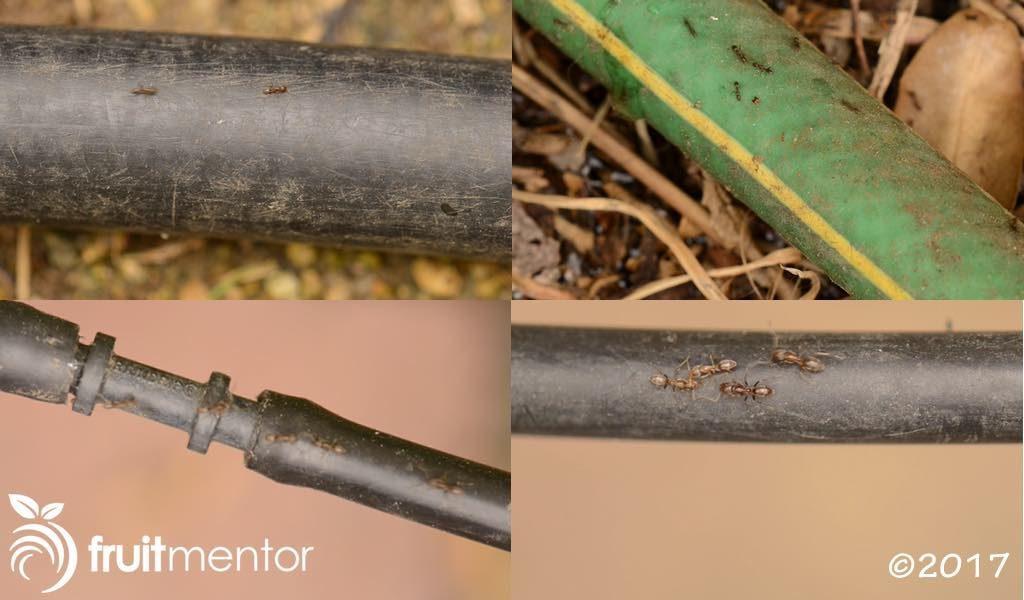 软管和灌溉管上的阿根廷蚁。