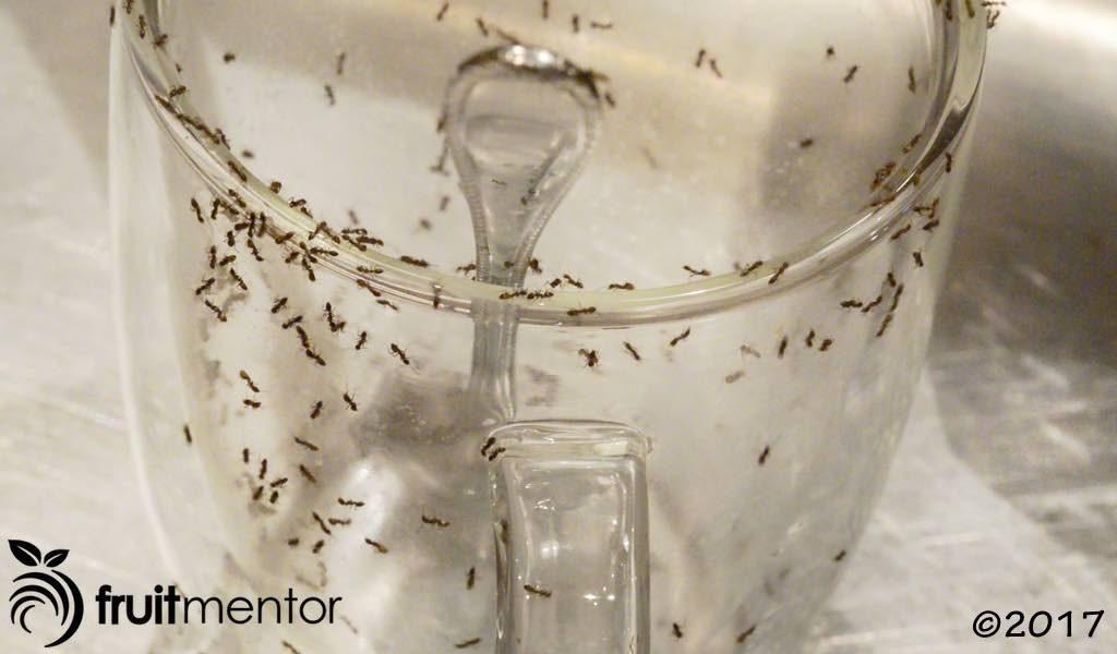 阿根廷蚁入侵房屋。
