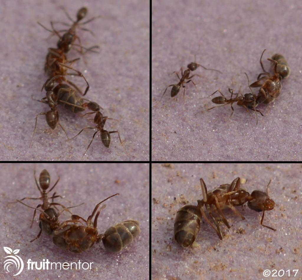 工蚁拖拽死去的阿根廷蚁后。