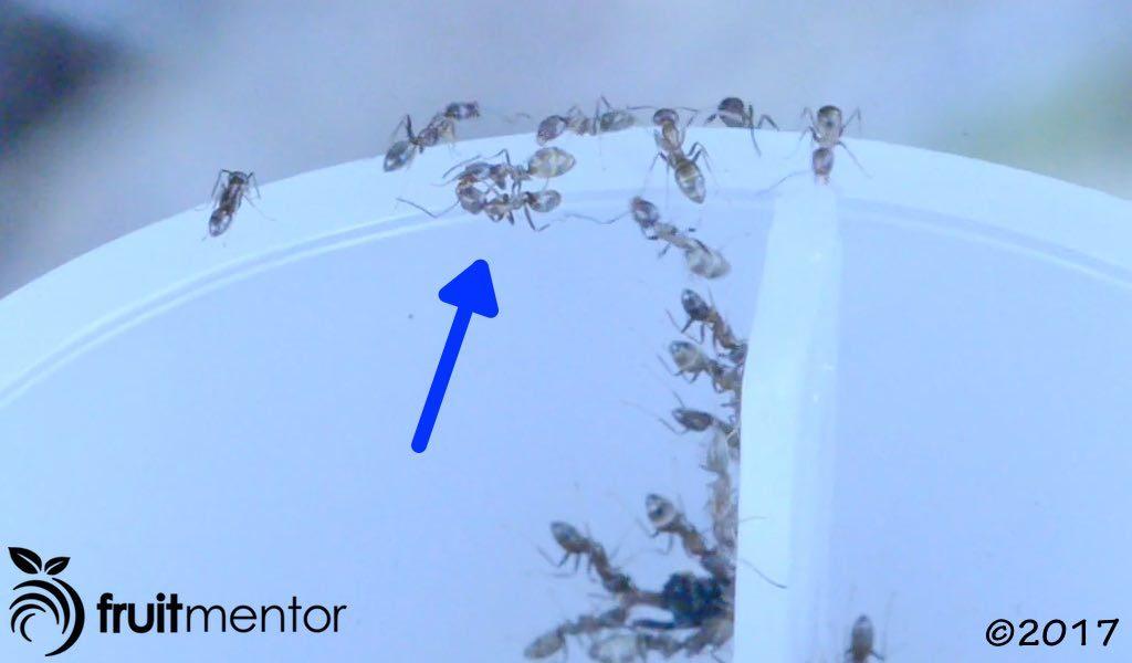 阿根廷蚁在交哺中相互分享饵剂。