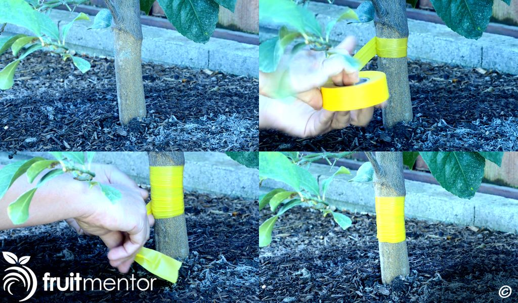 wrapping the citrus tree