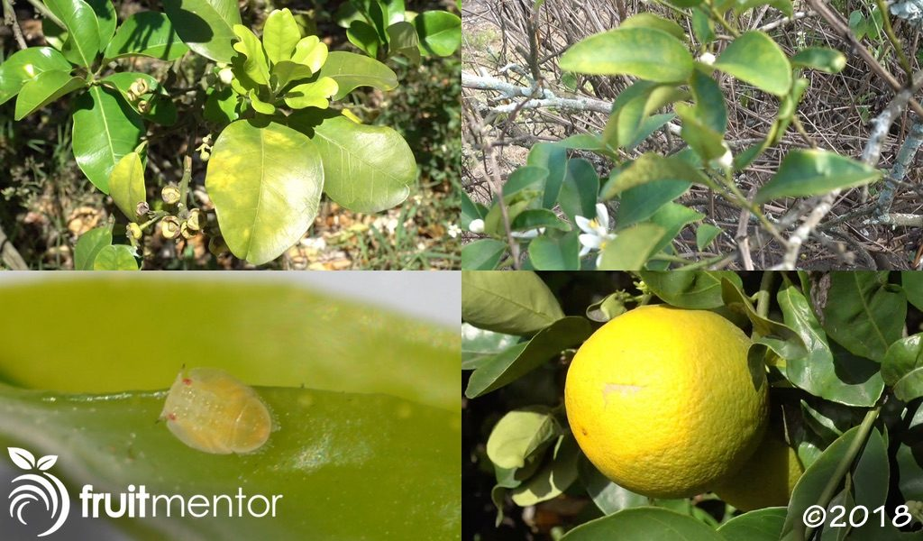 The Asian citrus psyllid spreads huanglongbing (HLB), which kills citrus trees and makes citrus fruit taste bad.