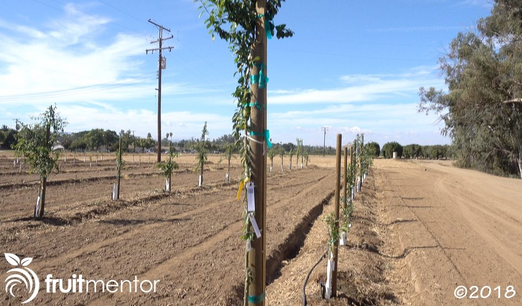 Hybrid citrus trees planted in the field.