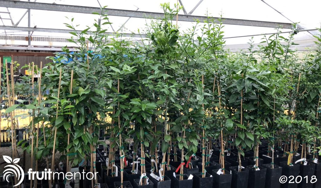 Grafted hybrid trees.