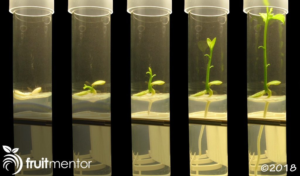 Monoembryonic citrus seeds produce hybrid offspring.