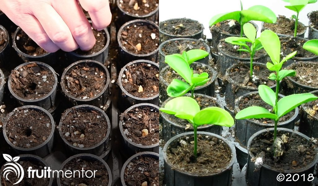 Planting and growing the hybrid seeds.