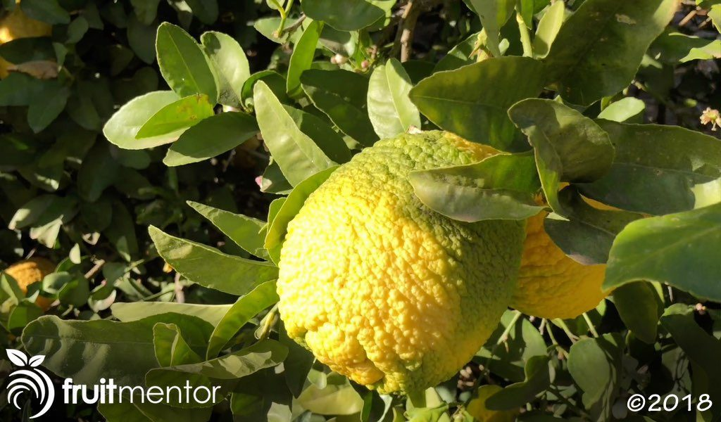 Citrus rootstock trees produce inedible fruit.