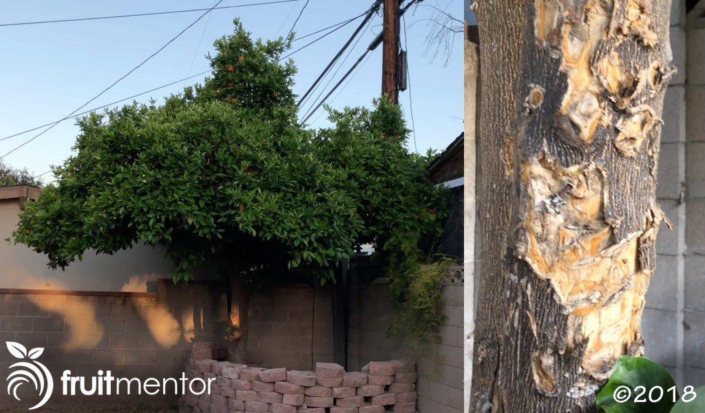 Neglected Navel Orange Tree.