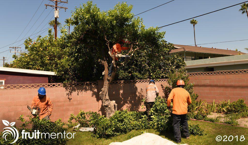 Professional crew removing an unwanted citrus tree in California's HLB quarantine zone.