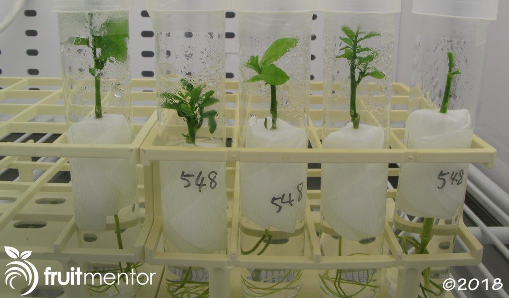 Shoot tip grrafted citrus plants in propagation chamber.