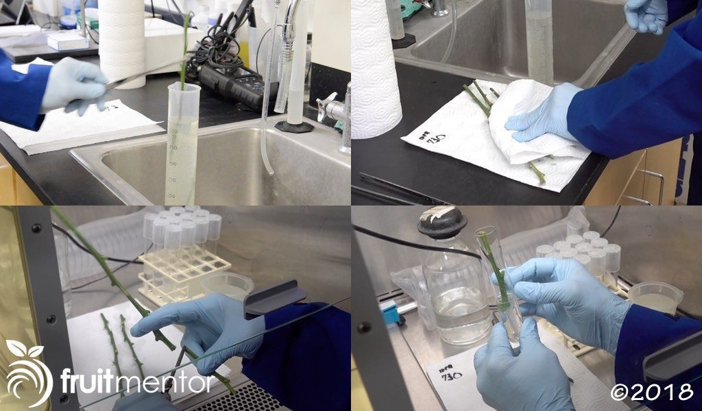 Surface sterilizing the citrus cuttings and placing them in test tubes.