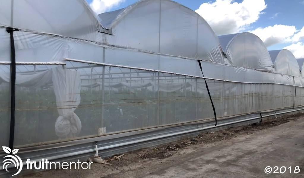 Plantas de incremento para yemas de cítricos protegidas por estructuras contra insectos.