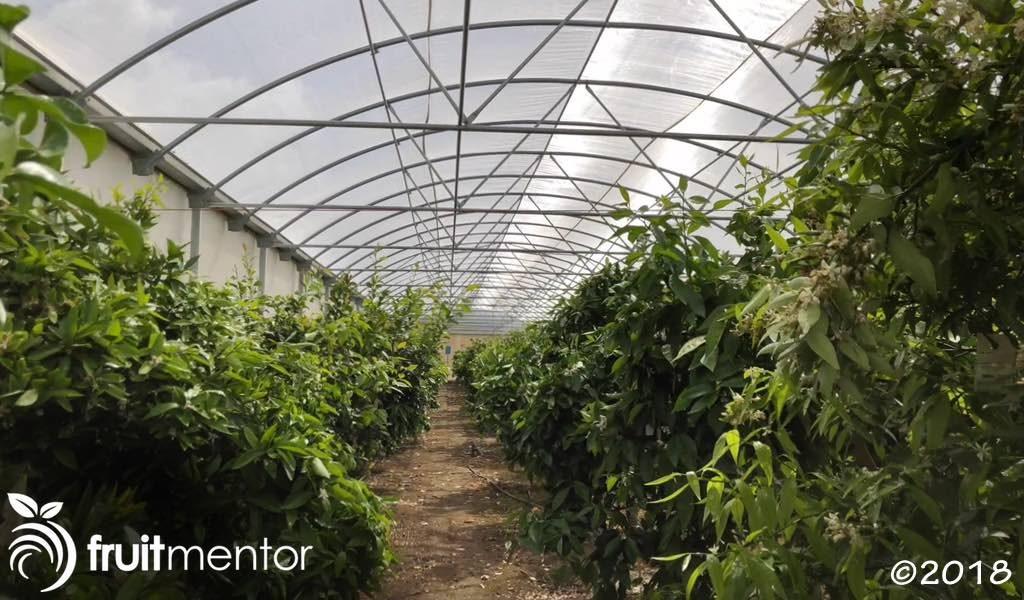 Las yemas de estas plantas madre se usan para propagar plantas de incremento.