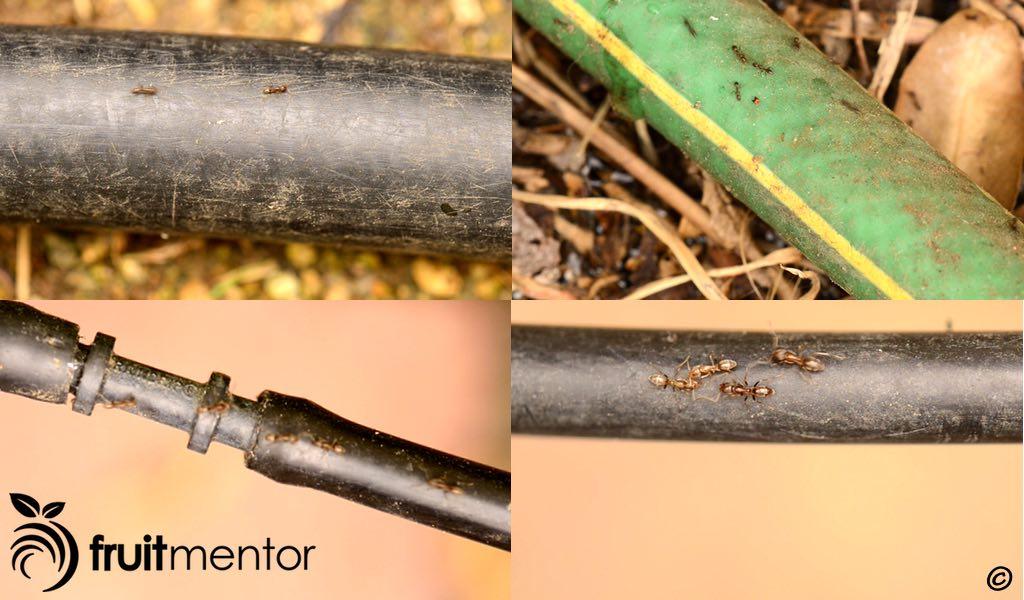 Las hormigas argentinas en mangueras y tuberías de riego.