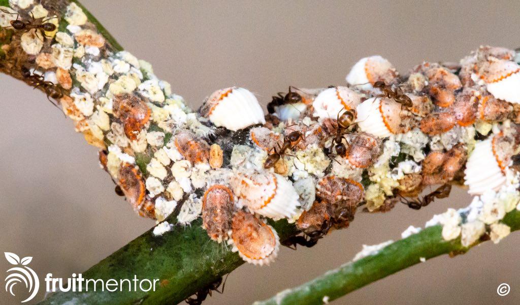 ants on my lemon tree