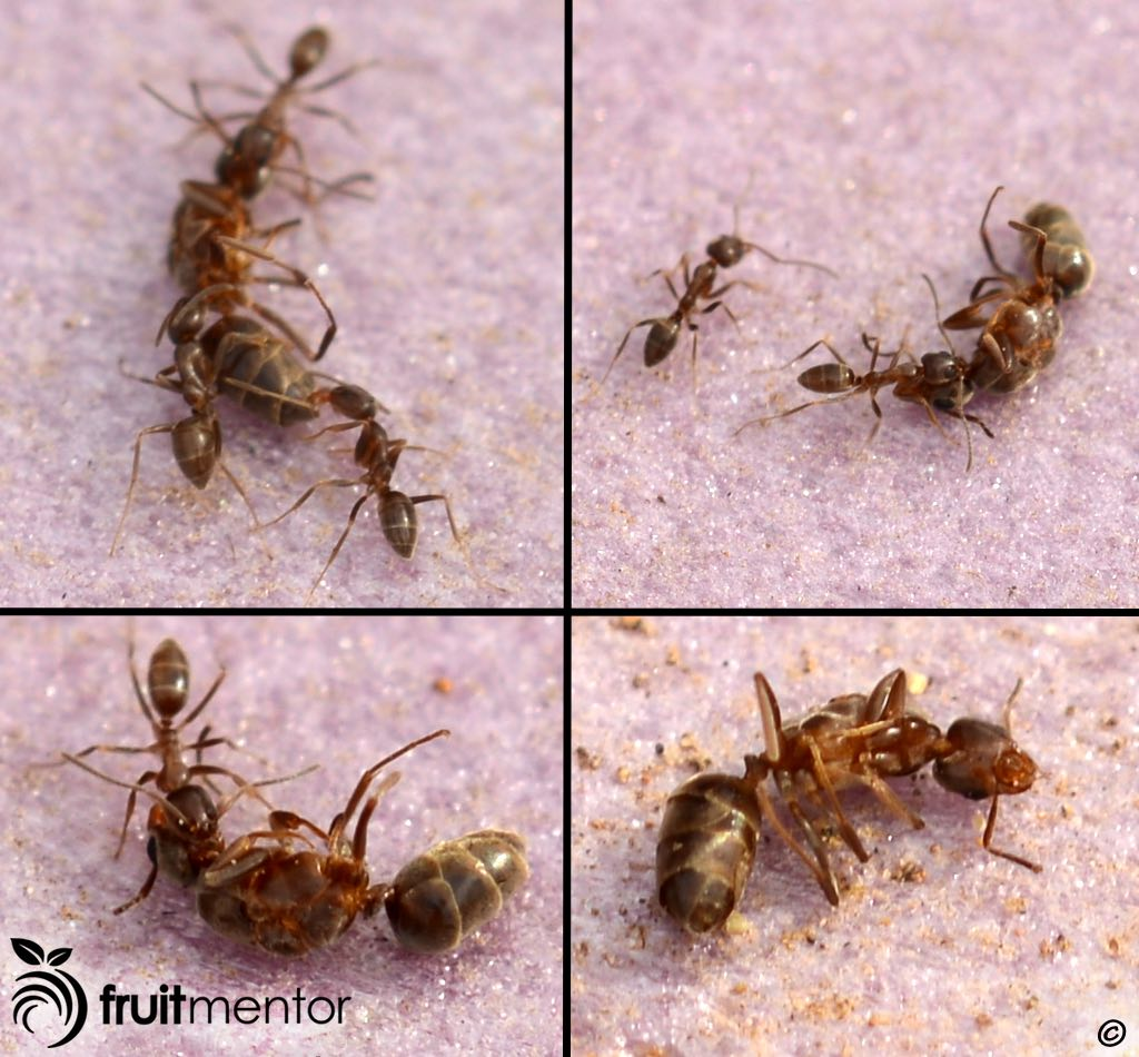 Hormigas obreras arrastrando a la hormiga argentina reina muerta.