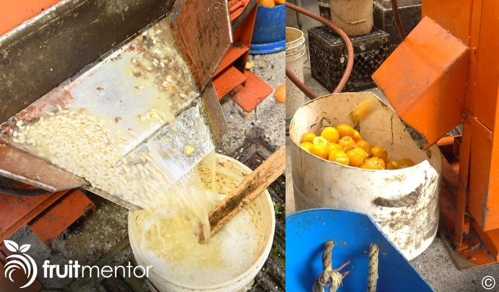 Citrus seeds exiting the extractor.