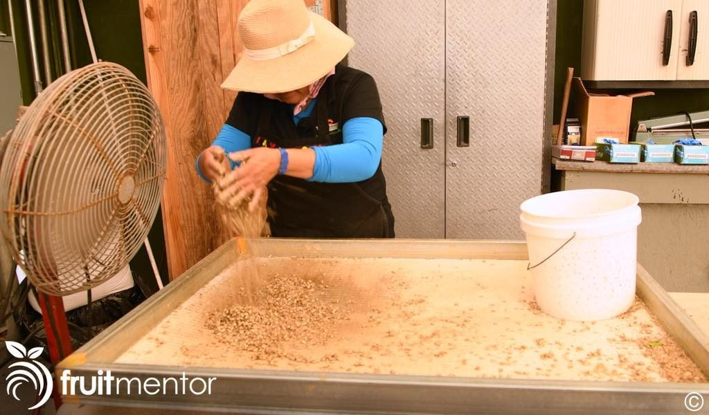 separating the seeds from the seed coats