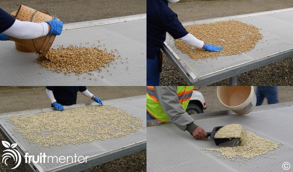 drying the citrus roostock seeds in the sun
