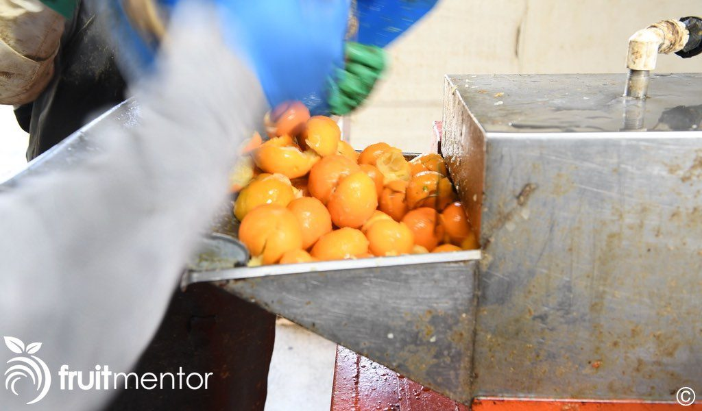citrus rootstock fruit going through the extractor again