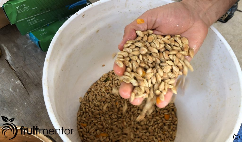 citrus rootstock seeds are slimy and acidic