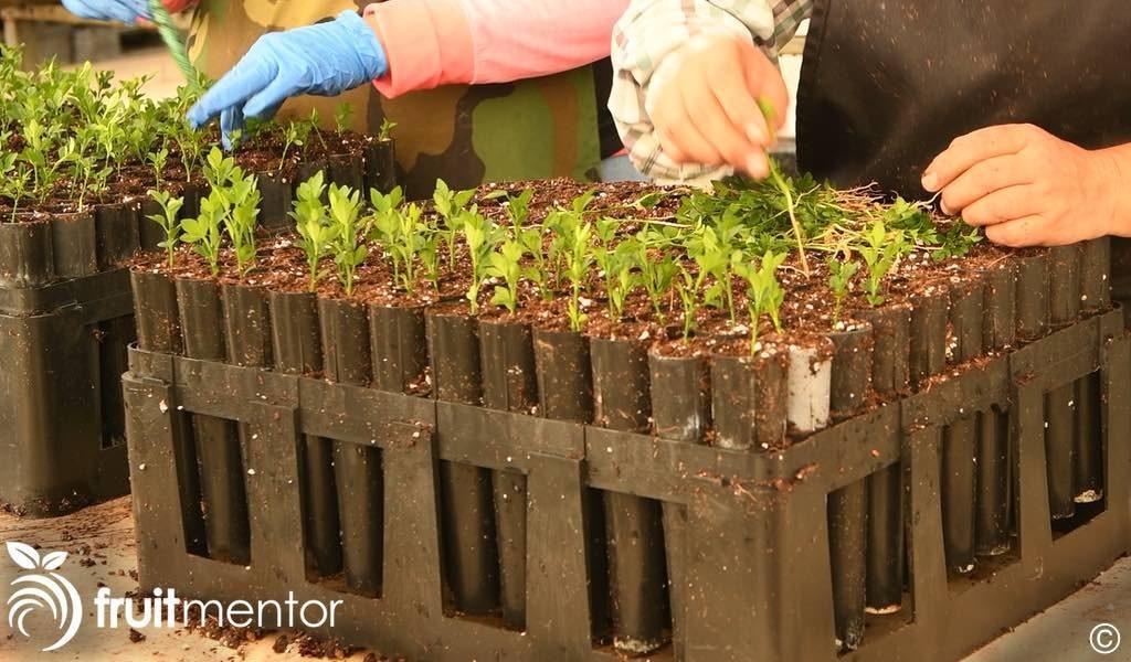 sorting the citrus roostock seedlings