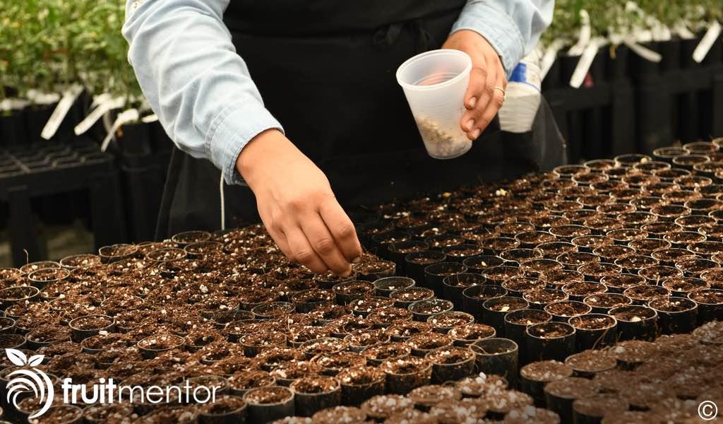 planting citrus roostock seeds