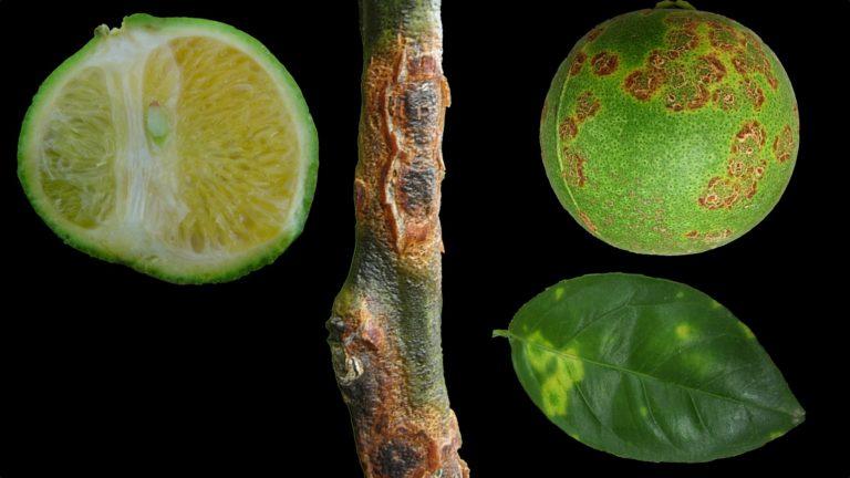 14 Căn bệnh khó chịu trên cây cam quýt bạn PHẢI tránh