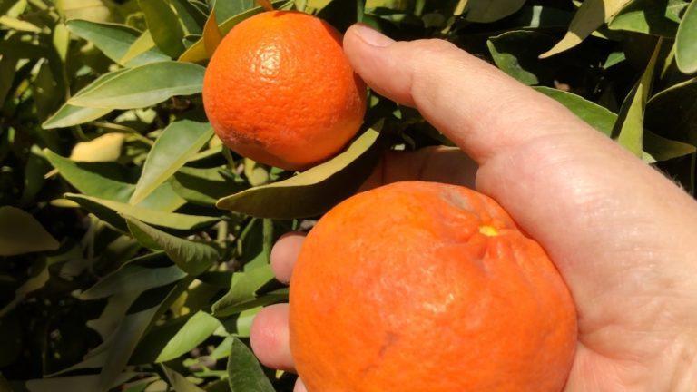 Nguy cơ di chuyển trái cam quýt ở California