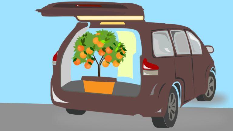 Nguy cơ di chuyển cây cam quýt ở California