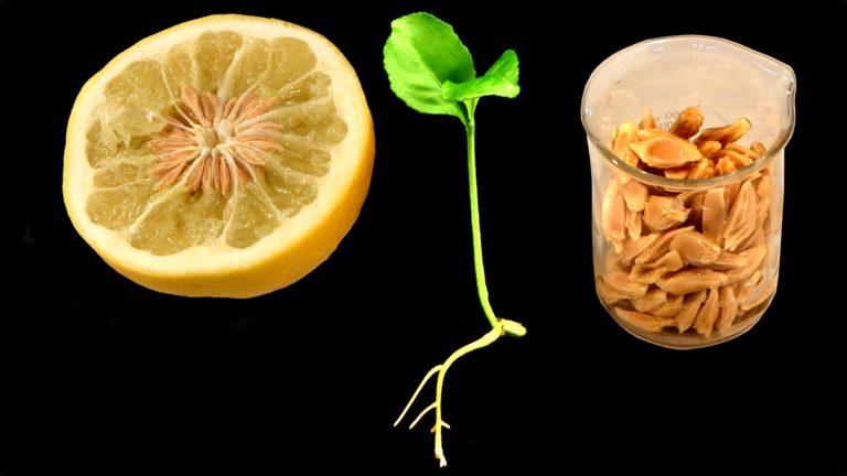 Nhân giống và trồng cây cam quýt từ hạt giống để khắc phục bệnh chết chóc