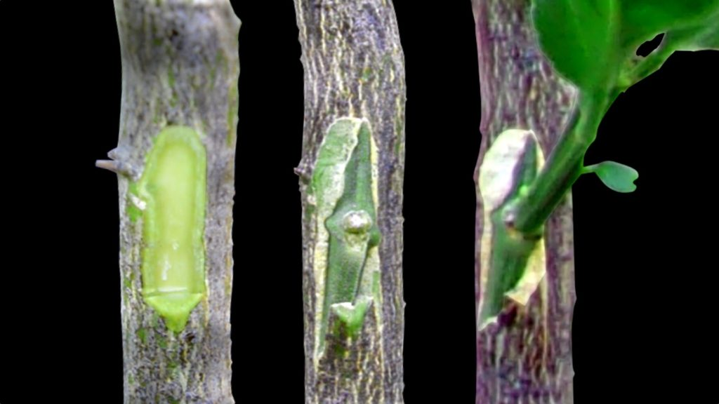 Grafting Citrus Trees - Bud Grafting