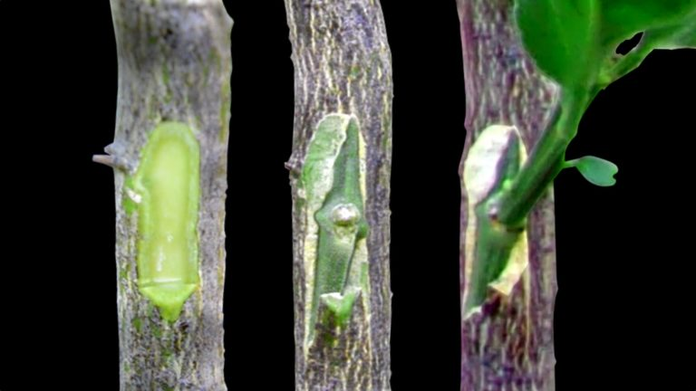Ցիտրուսային ծառերի աչքապատվաստ