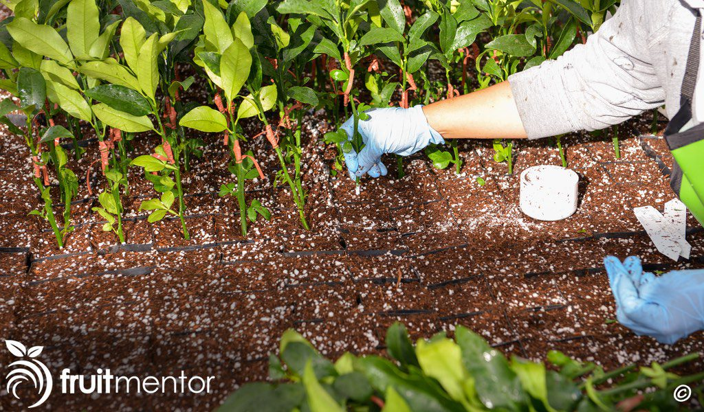 Applying the rooting hormone and planting the grafted citrus cuttings