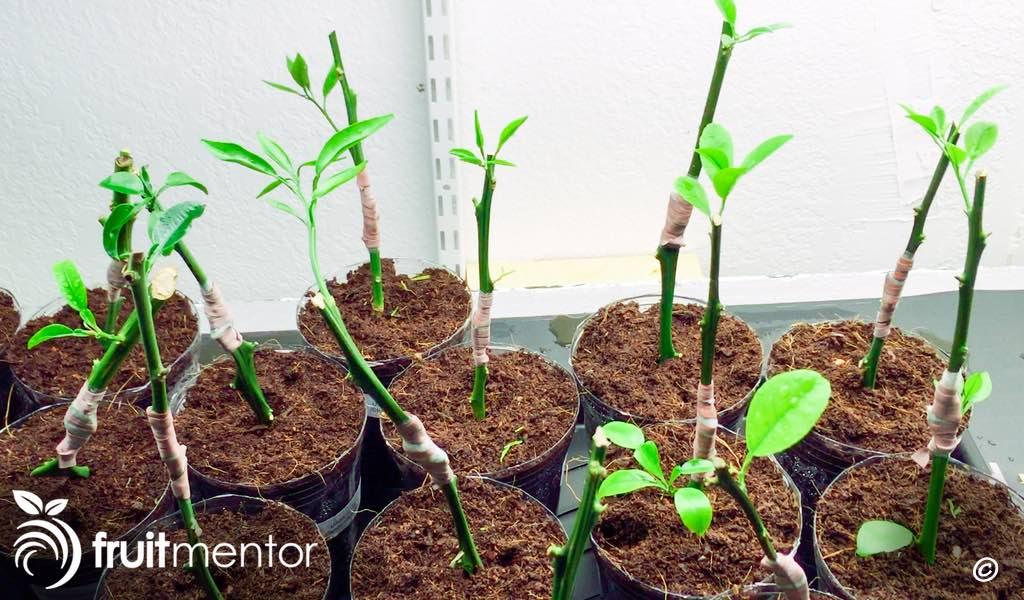 citrus plants without roots