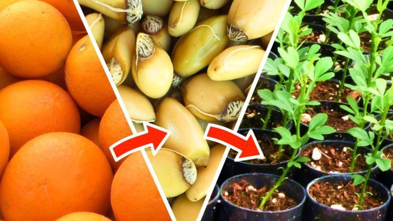 Trồng cây cam quýt từ hạt – từ khi thu hoạch quả đến khi nảy mầm