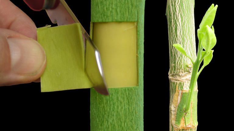柚子嫁接技术——如何利用补片芽接法嫁接柚子树
